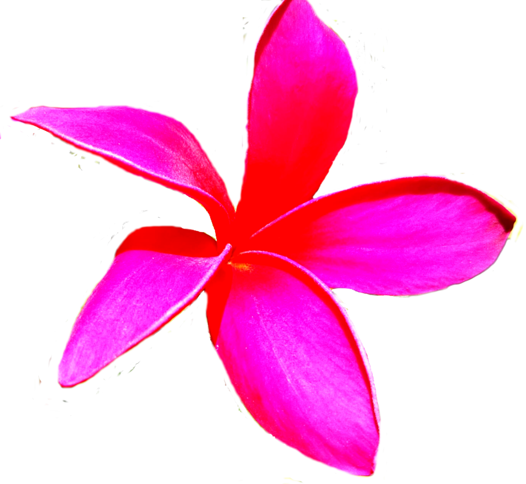 free Hawaiian plumeria flower photo isolated download