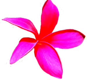 free photo Hawaiian plumeria flower isolated
