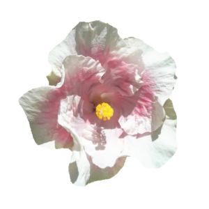 Hawaiian hibiscus flower photo isolated download