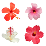 hibiscus flower line emoji released