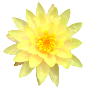 free lotus flower isolated photo download