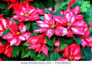 stock photo Christmas flower poinsettia flower garden