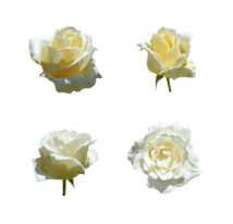 white rose flower line emoji released