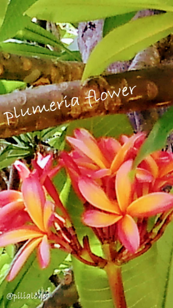 free iphone wallpaper plumeria flower