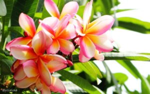 wallpaper Hawaiian plumeria flower
