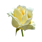 free white rose flower isolated photo download