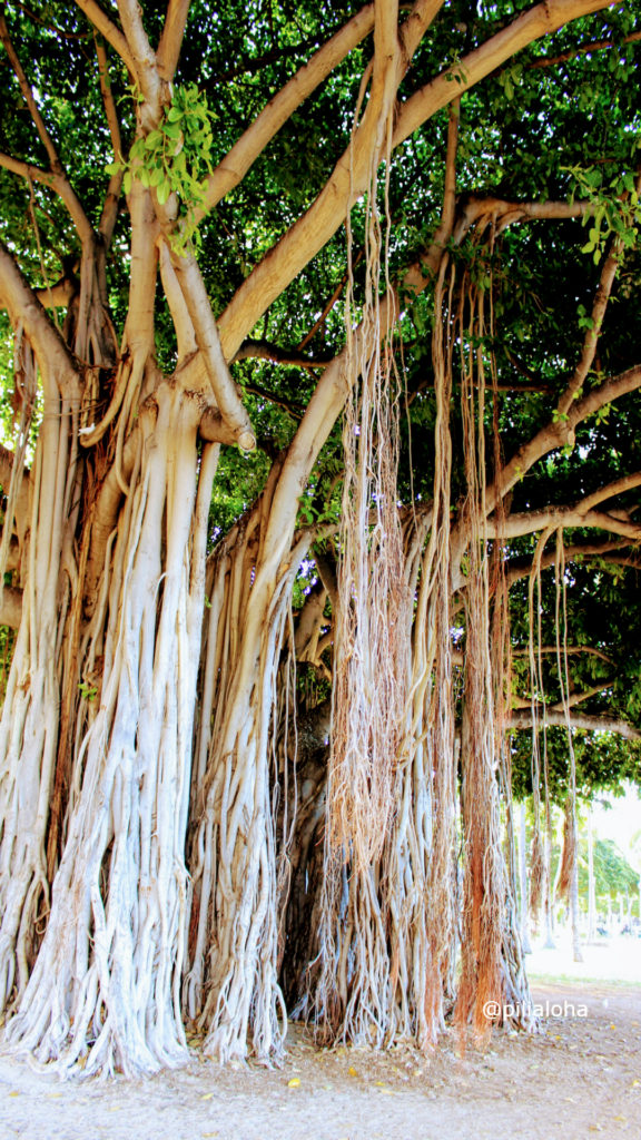 free iphone wallpaper banyan tree in Hawaii