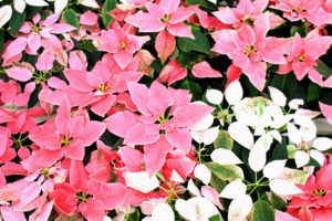 free wall paper poinsettia flower